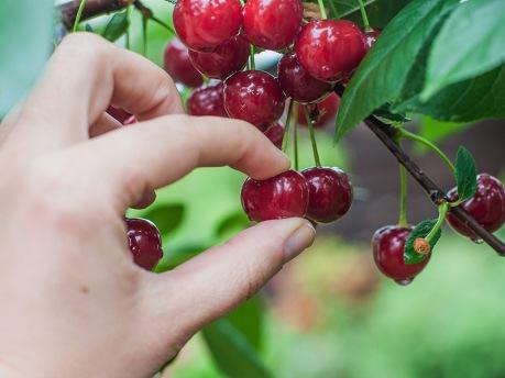 bible cherry picking8